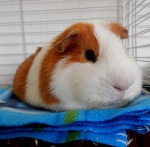 guinea_pigs_tales_profile_kirk