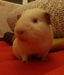 guinea_pigs_tales_spock_profile