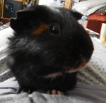 guinea_pigs_tales_worf_profile