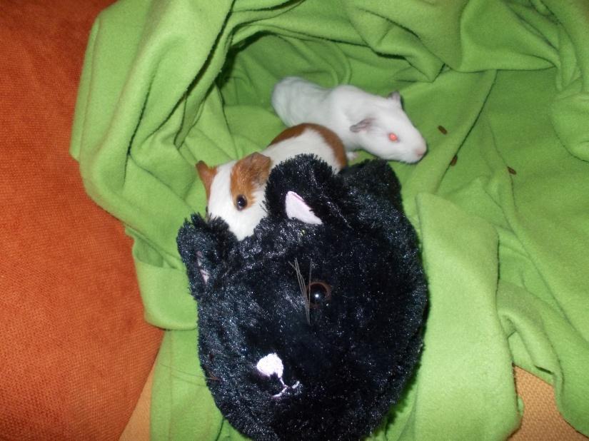 guinea_pigs_tales_spock_kirk_cat