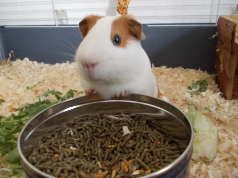 guinea_pigs_tales_big_kirk