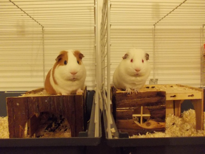 guinea_pigs_tales_waiting