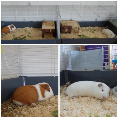guineapigs_tales_lazy_day