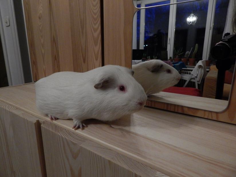 guinea_pigs_tales_spock_mirror