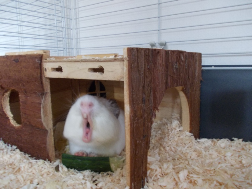 guinea_pigs_tales_spock_yawn