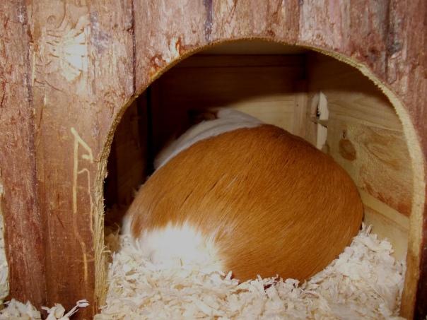 guinea_pigs_tales_kirk_bottom