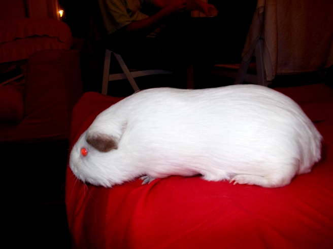 Guinea_pigs_tales_spock_red