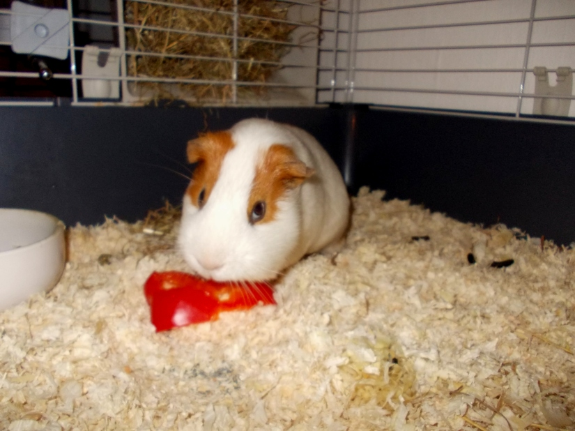 guineas_pigs_tales_redpaprika2