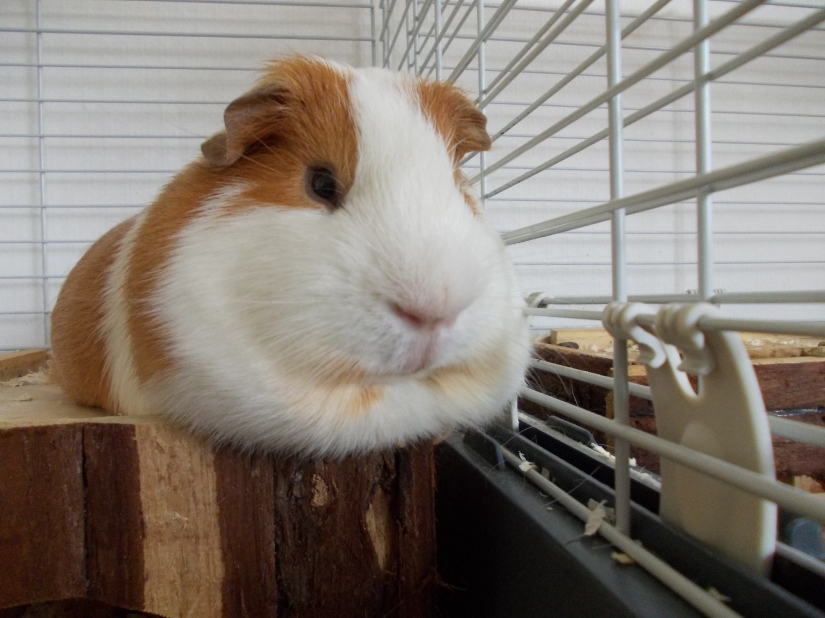 guineas_pigs_tales_redpaprika1