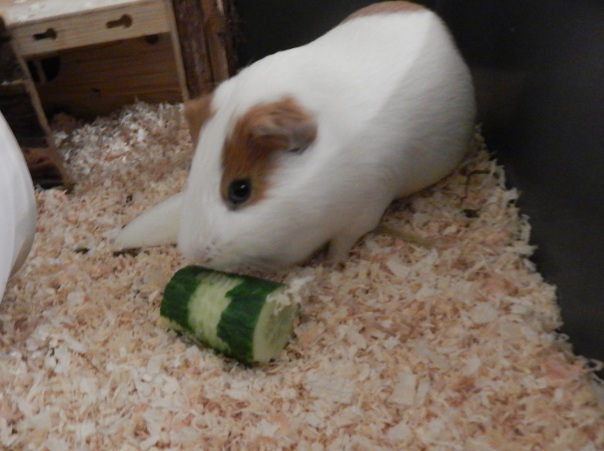 guinea_pigs_tales_kirk_cucumber