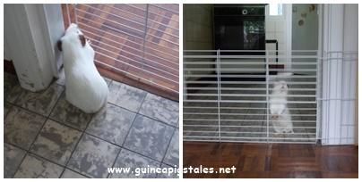 guinea_pigs_tales_behind_bars
