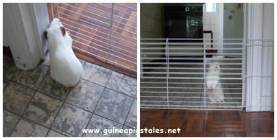 guinea_pigs_tales_behind_bars