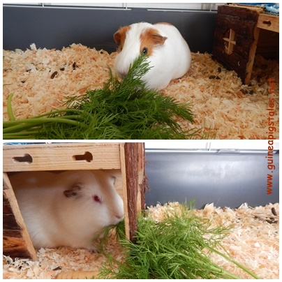 guinea_pigs_tales_dill