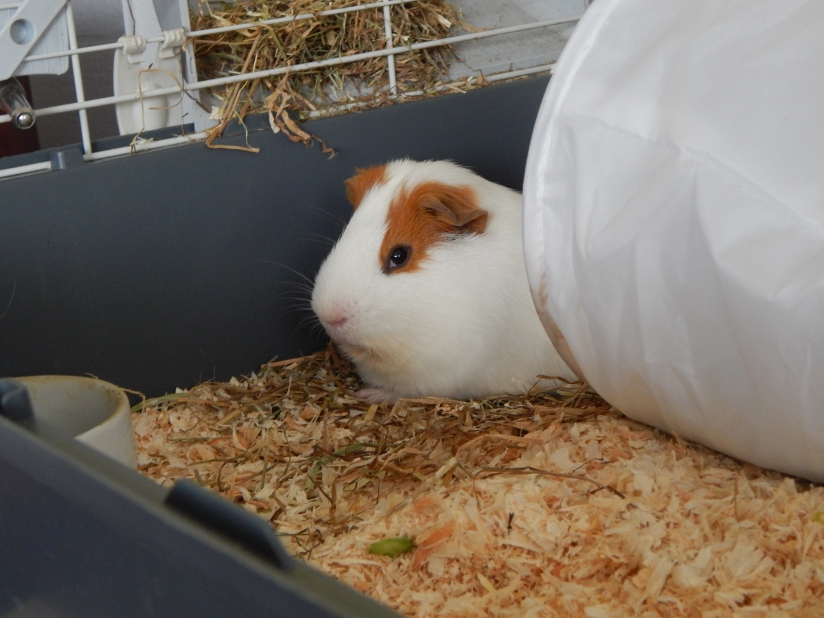 guinea_pigs_tales_kirk_say_what