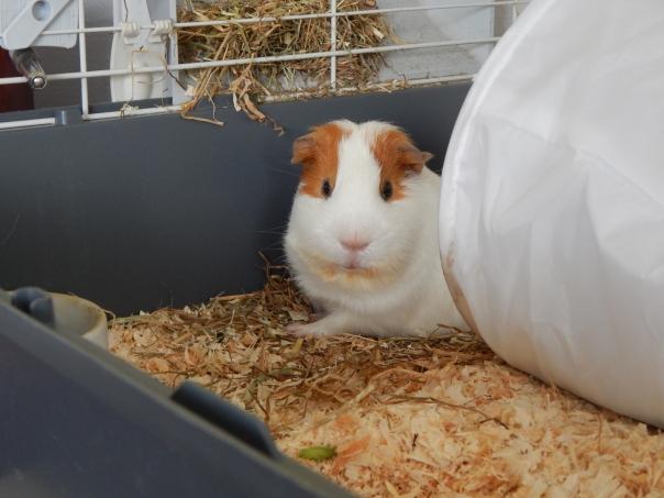 guinea_pigs_tales_kirk_yes