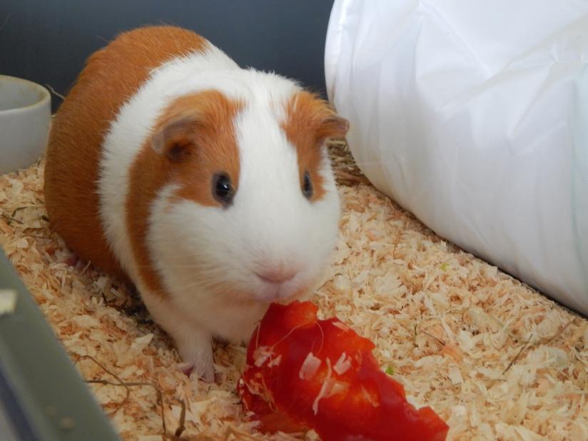 guinea_pigs_tales_kirk_paprika