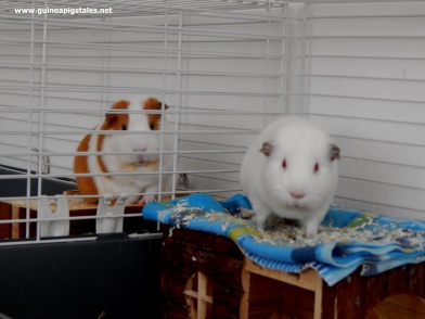 Guinea_pigs_tales_play!