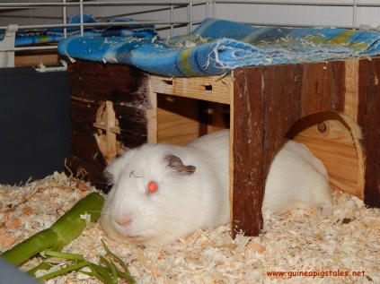 guinea_pigs_tales_spock_onthenose