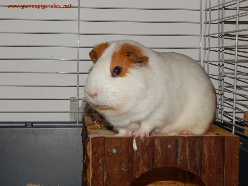 guinea_pigs_tales_kirk_superviser
