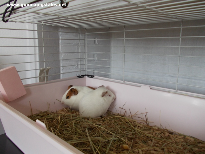 guinea_pigs_tales_first_cage