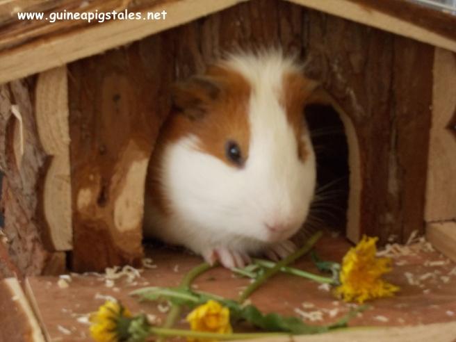 guinea_pigs_tales_kirk_dandelion