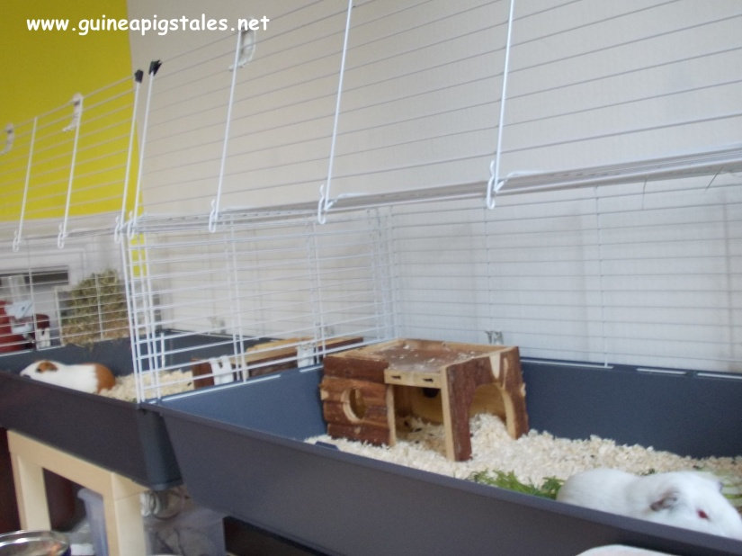 guinea_pigs_tales_two_cages