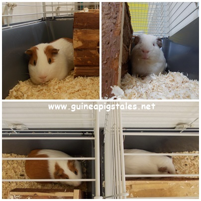 guinea_pigs_tales_heat