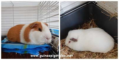 guinea_pigs_tales_pie