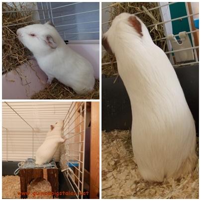 guinea_pigs_tales_spock_long