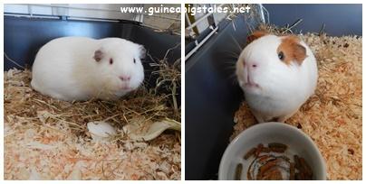 guinea_pigs_tales_whaaat