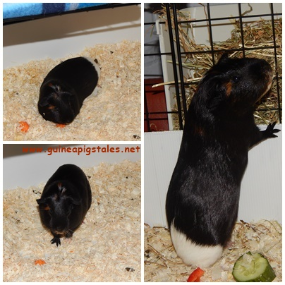 guinea_pigs_tales_worf_1