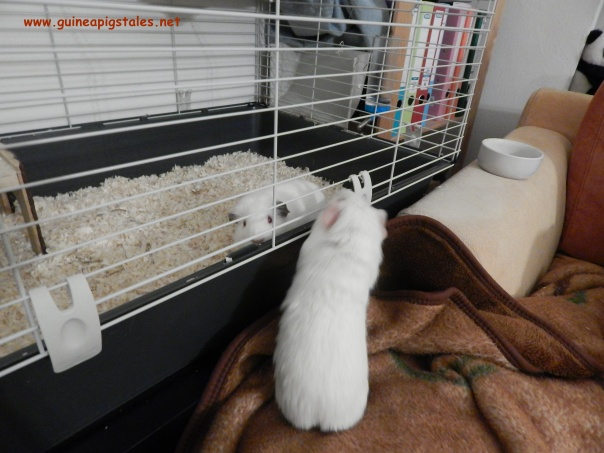 guinea_pigs_tales_data_spock