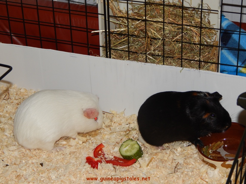guinea_pigs_tales_data_worf