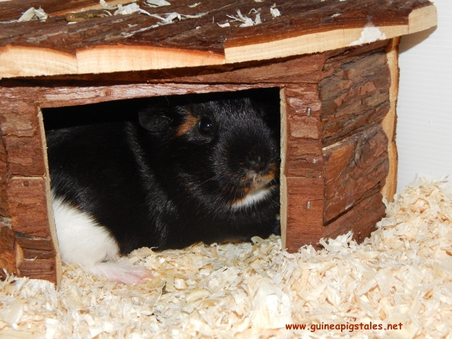 guinea_pigs_tales_worf