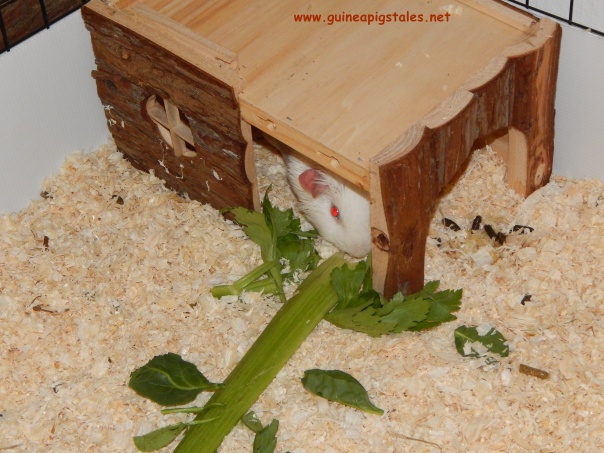 dguinea_pigs_tales_data_celery