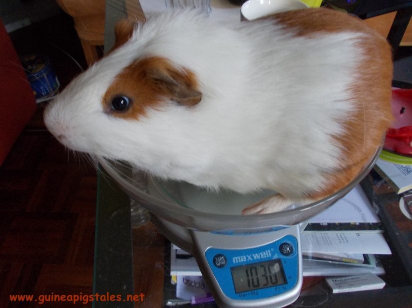 guinea_pigs_tales_kirk_1kilo