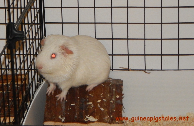guinea_pigs_tales_ugly_data